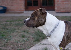 sguardi American Staffordshire Terrier