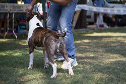 American Staffordshire Terrier expo